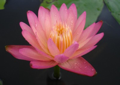 Nymphaea 'Twighlight'