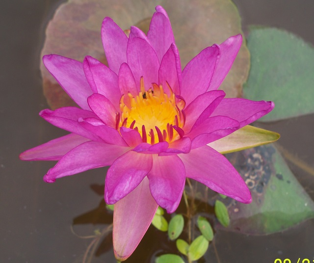 Nymphaea 'Purple Fringe'