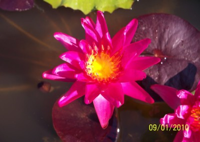 Nymphaea 'Red Satin'