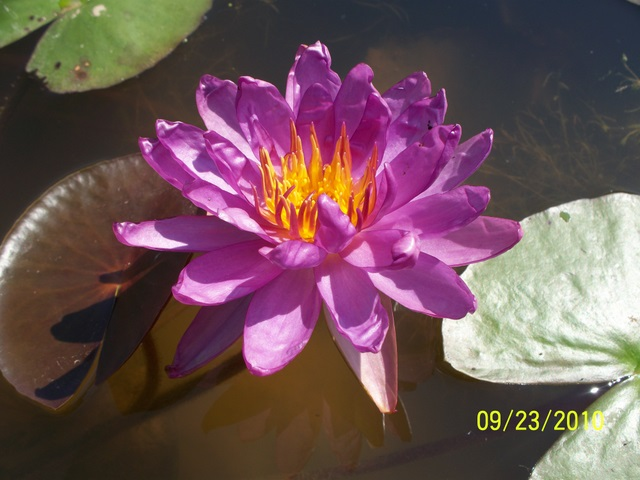 Nymphaea 'Royal Satin'
