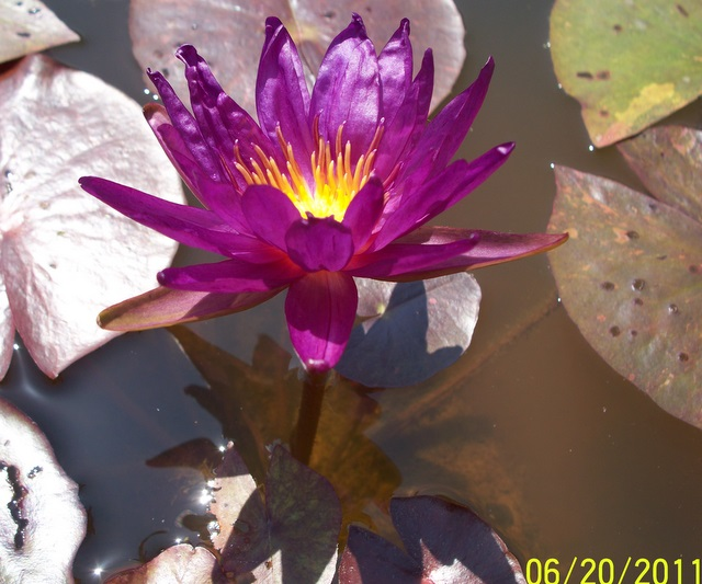 Nymphaea 'Stunning Purple'