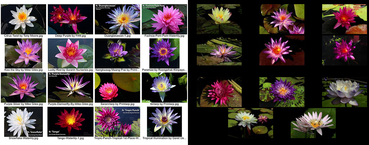 The 2015 3rd Annual IWC New Waterlily Contest