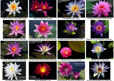 IWC & WWALA New Waterlily Contest 2012