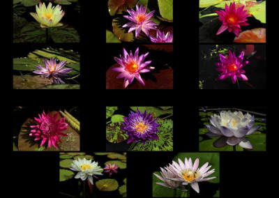 The 2013 2nd Annual WWALA & IWC New Waterlily Contest Voting Page