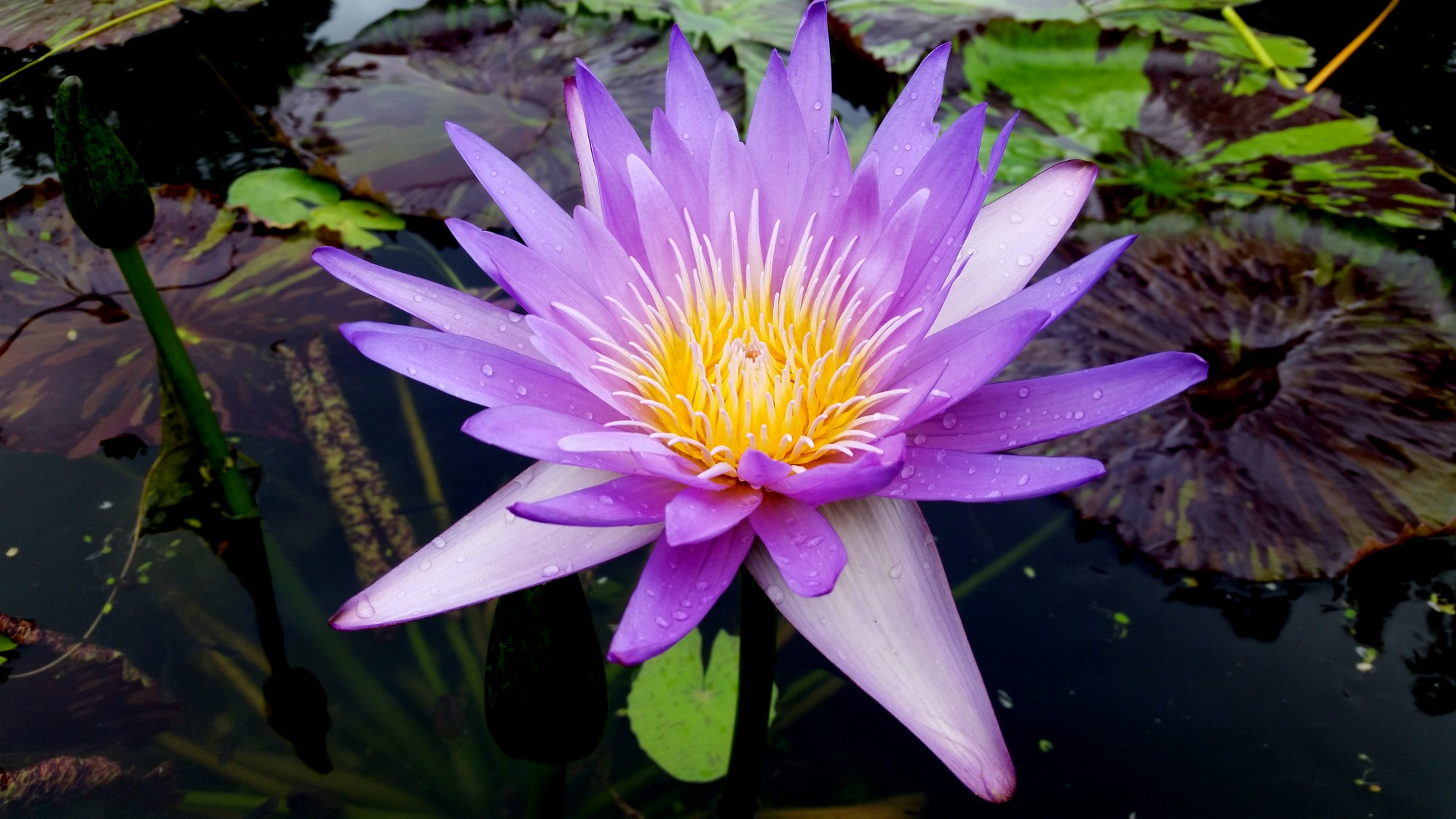 Nymphaea 'Mayor Dwain Morrison'