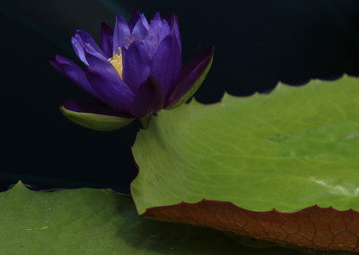 Nymphaea 'Barre Hellquist'