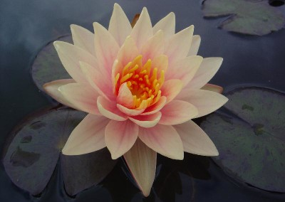 Nymphaea 'Charlie's Choice'
