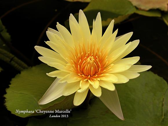 Nymphaea 'Cheyenne Marcelle'