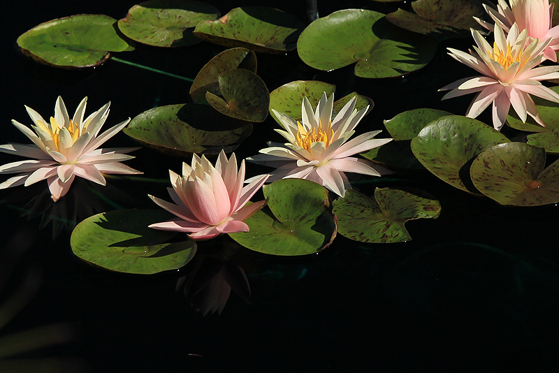 Nymphaea 'Fairy Skirt'