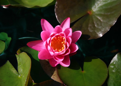 Nymphaea 'Yuh Ling'