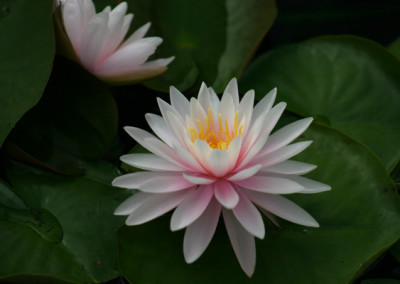 Nymphaea 'Perry's Pink Heaven'