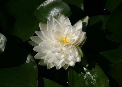 Nymphaea 'Gonnere'