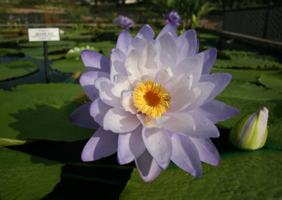 Nymphaea 'Silver Sky'