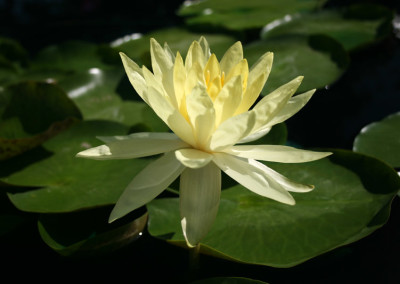 Nymphaea 'Lemonscent'