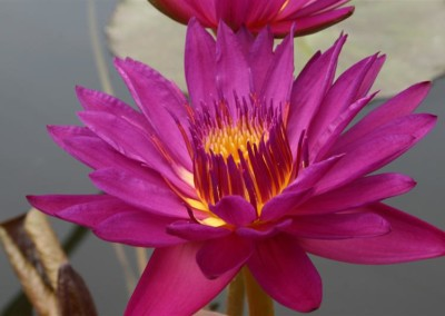Nymphaea 'Virginia McLane'