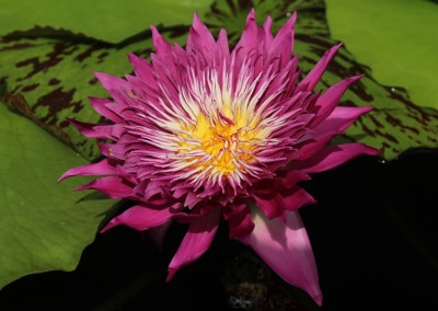 Nymphaea 'Tropic Punch'