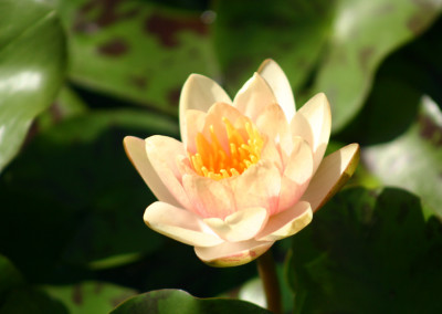 Nymphaea 'Paul Hariot'