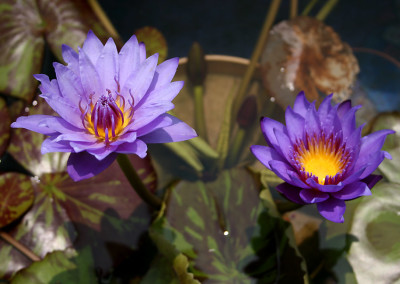 Nymphaea 'William McLane'