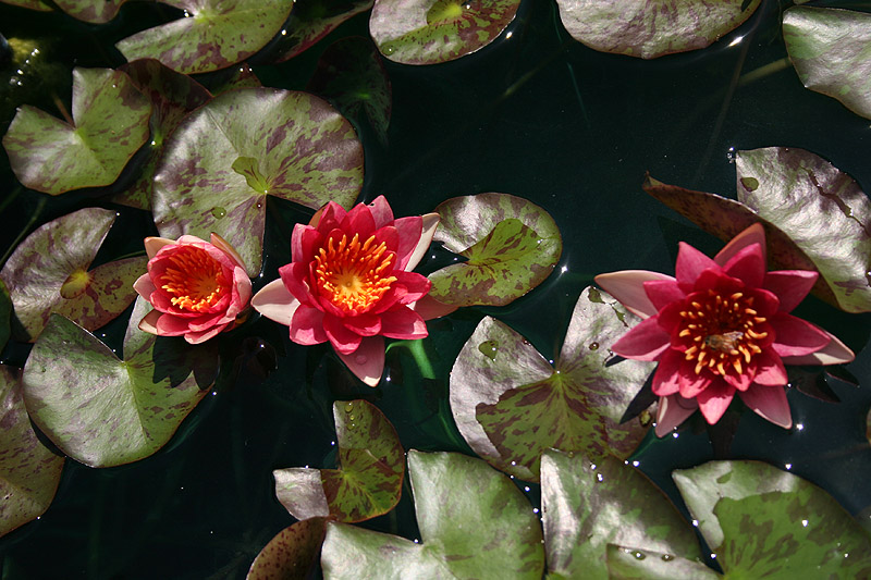 Nymphaea 'Indiana'