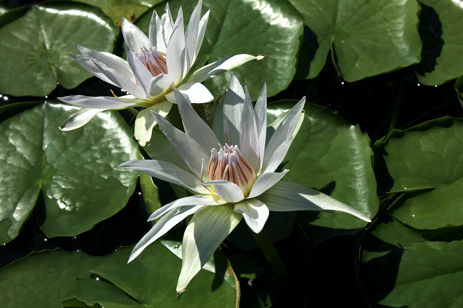 Nymphaea 'White Colorata'