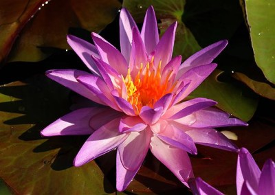Nymphaea 'Purplelucent'