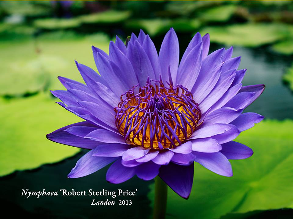 Nymphaea 'Robert Sterling Price'