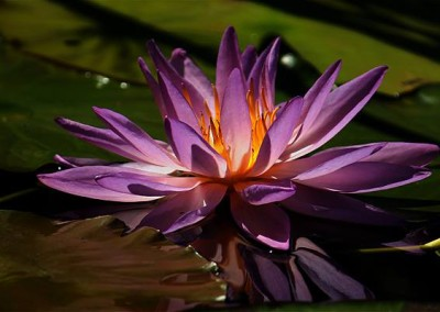 Nymphaea 'Sky Diamond'