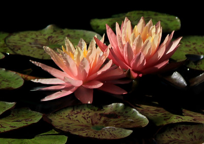 Nymphaea 'Sunfire'
