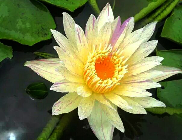 Nymphaea 'Thong Prakai' also known as Nymphaea 'Gold Aura'