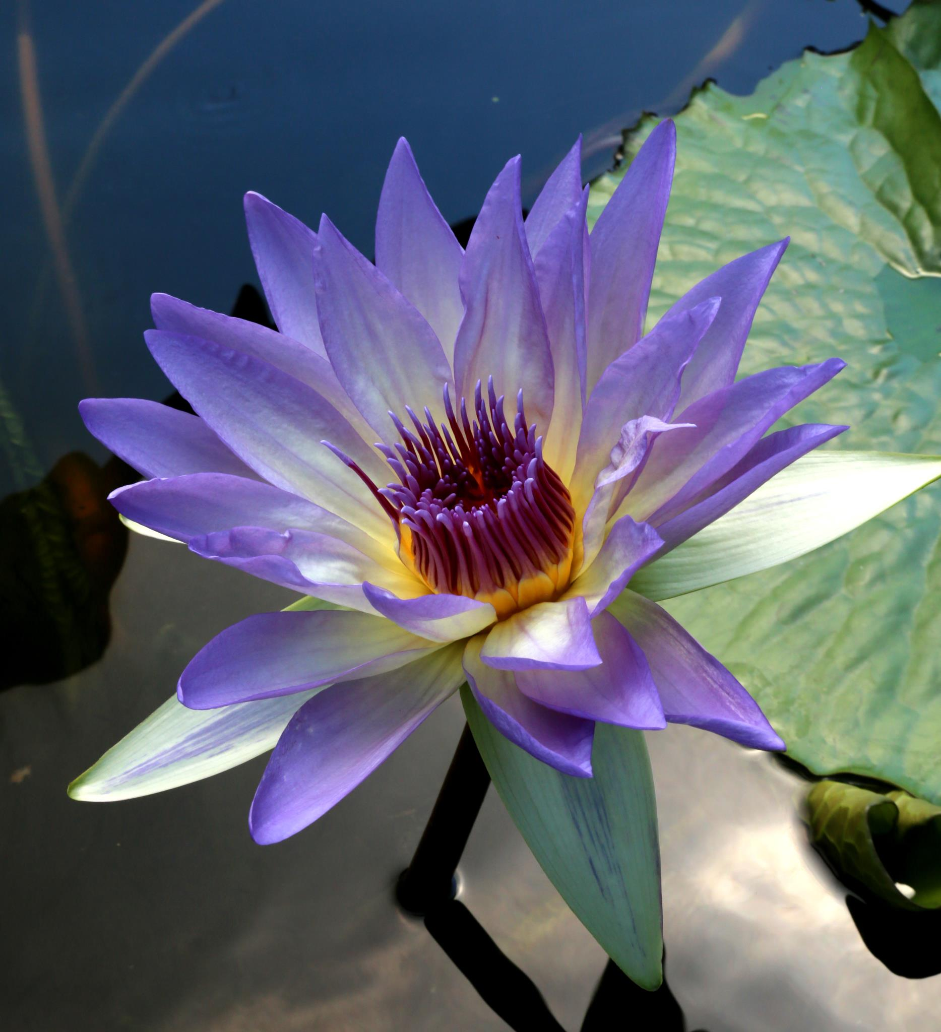 Nymphaea 'Tropical Illumination'