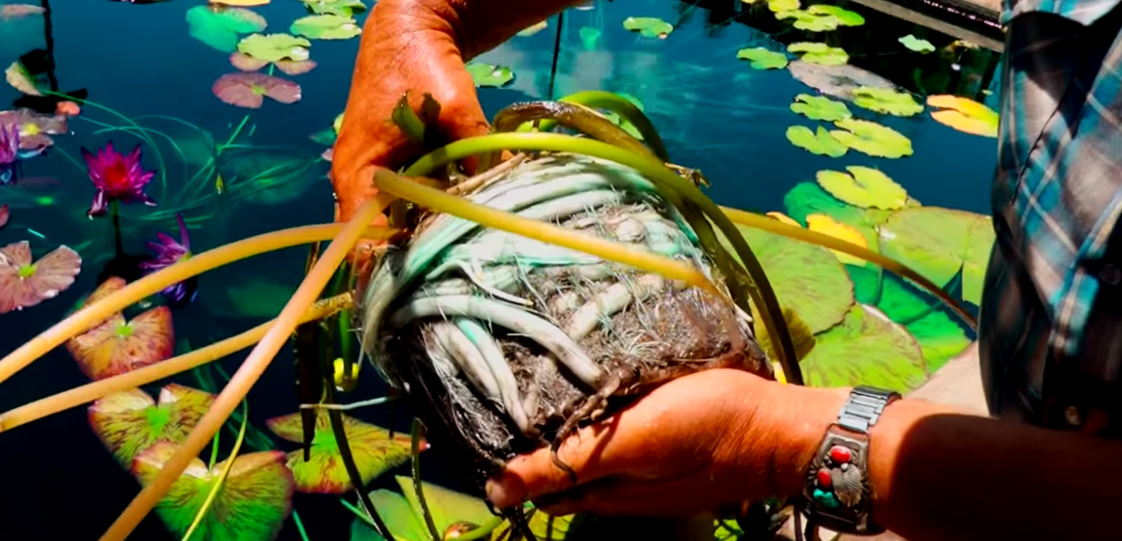 Planting A Tropical (Annual) Waterlily at the IWC with Tim Davis, Ken Landon and Zac DeGarmeaux.