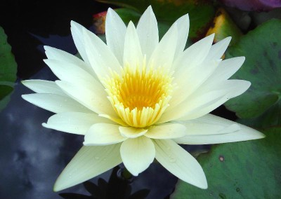 Nymphaea 'White Delight'