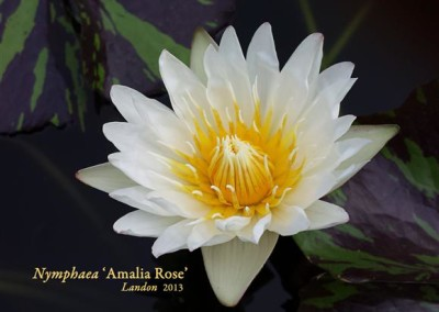 Nymphaea 'Amalia Rose'