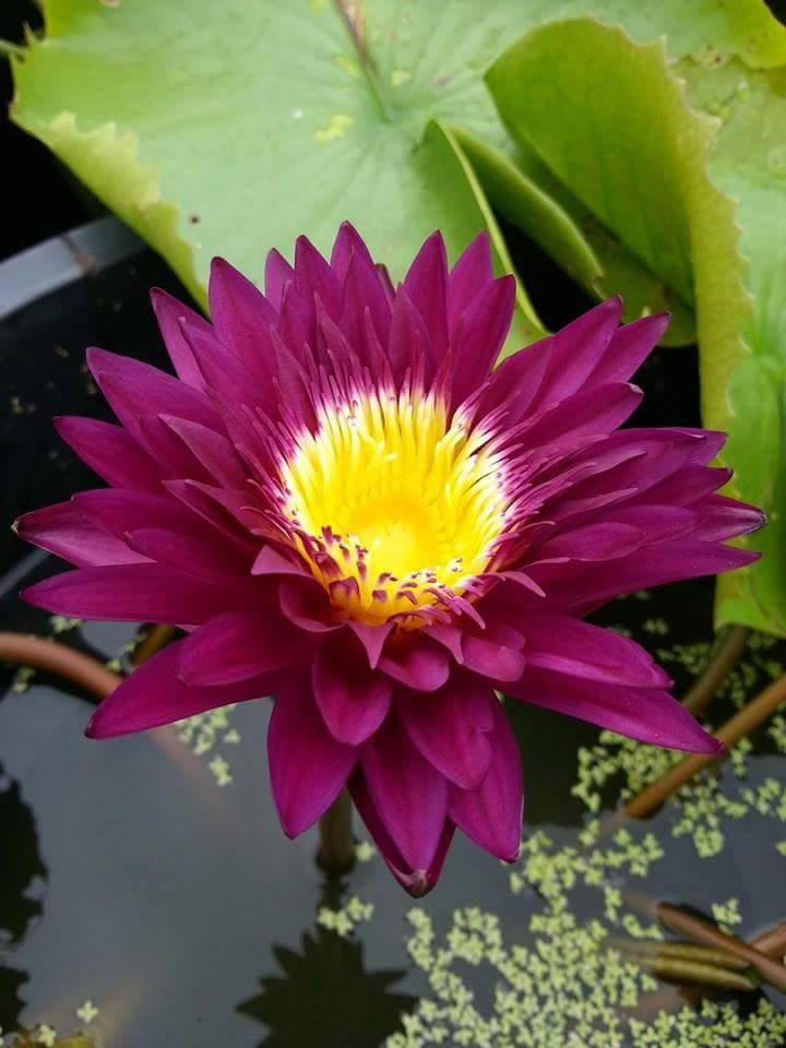 Nymphaea 'Bloody Mary'