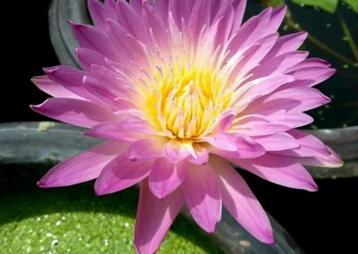Nymphaea 'Sweetheart'
