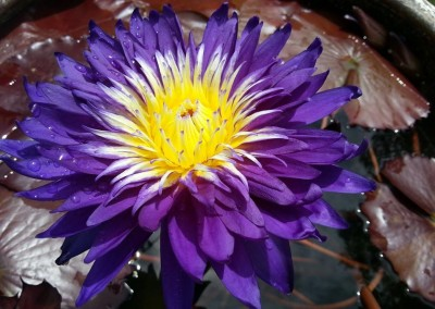 Nymphaea 'Galaxy'