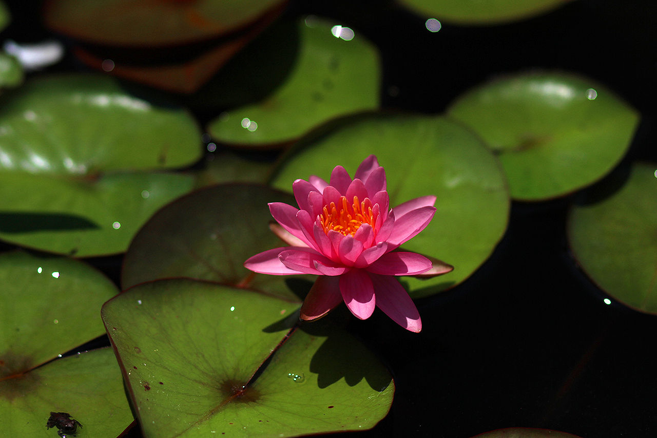 Nymphaea 'Perry's Pink'