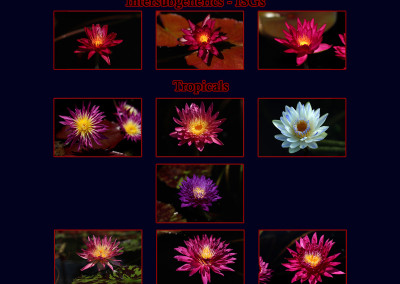 The International Waterlily Collection 2015 New Waterlily Contest