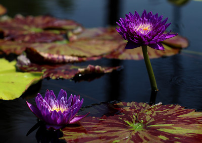 The 2015 3rd Annual IWC New Waterlily Contest Winners
