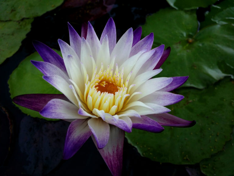 Nymphaea 'Purple Joy'