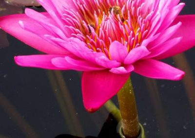Nymphaea Lady Katherine from Ken