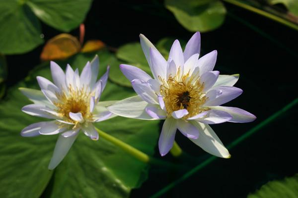 Nymphaea gigantea violacea | International Waterlily Collection